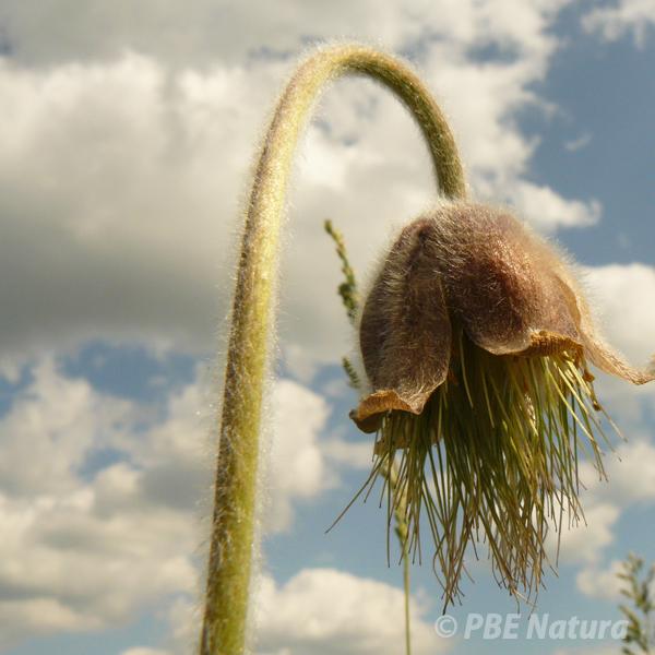 Sasanka łąkowa (Fot. U. Wysokińska)