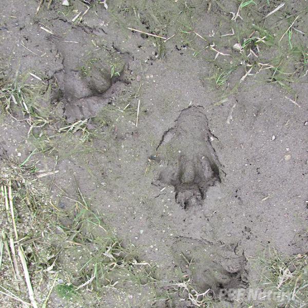 Tropy bobra (Fot. P. Obłoza)