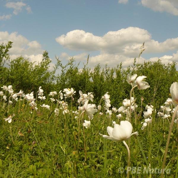 Góra Pieszczańska w Mielniku z zawilcami wielkokwiatowymi (Fot. U. Wysokińska)