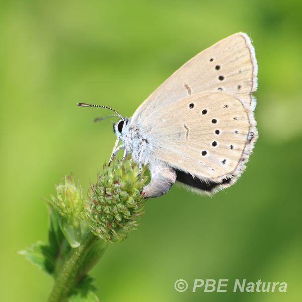 Modraszek telejus (Fot. P. Obłoza)