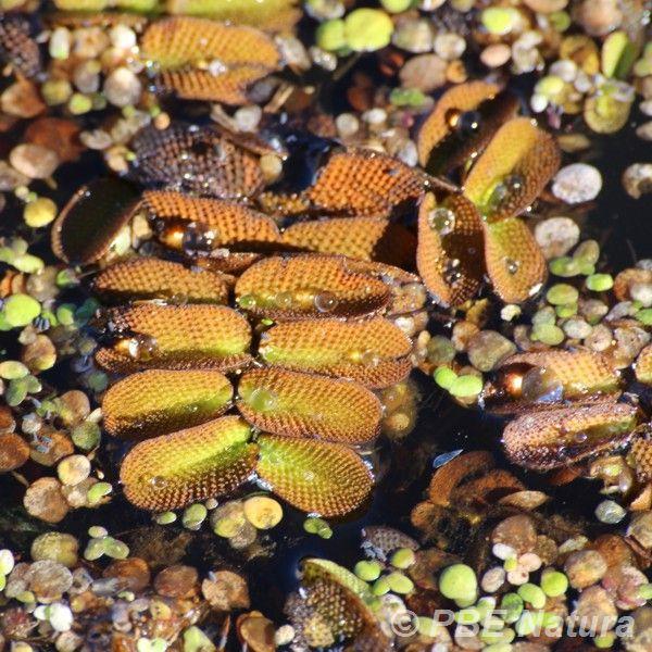 Salwinia pływająca (Fot. P. Obłoza)
