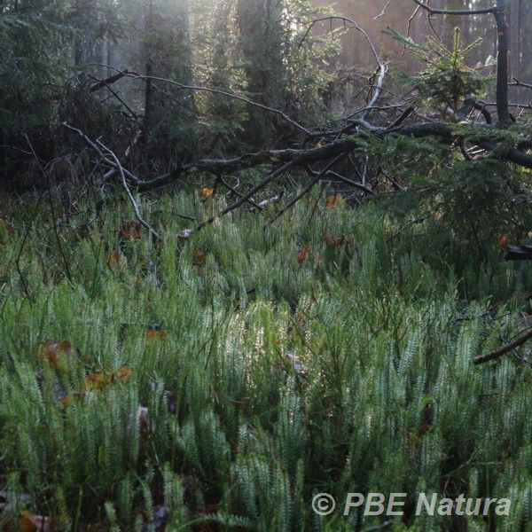 Widłak jałowcowaty w borze świeżym (Fot. P. Obłoza)